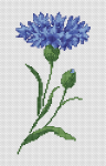 Beautiful pattern of a single Centaurea cyanus, commonly known as the cornflower. In some European cultures, the cornflower serves as a symbol of remembrance and sustenance.